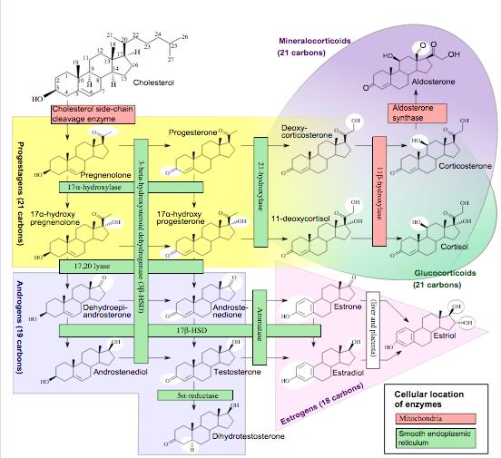 Hormone Metabolism